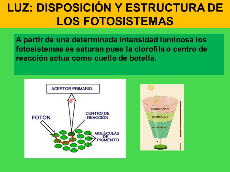 LUZ: DISPOSICIÓN Y ESTRUCTURA DE LOS FOTOSISTEMAS A partir de una determinada intensidad luminosa los fotosistemas se saturan pues la clorofila o cent