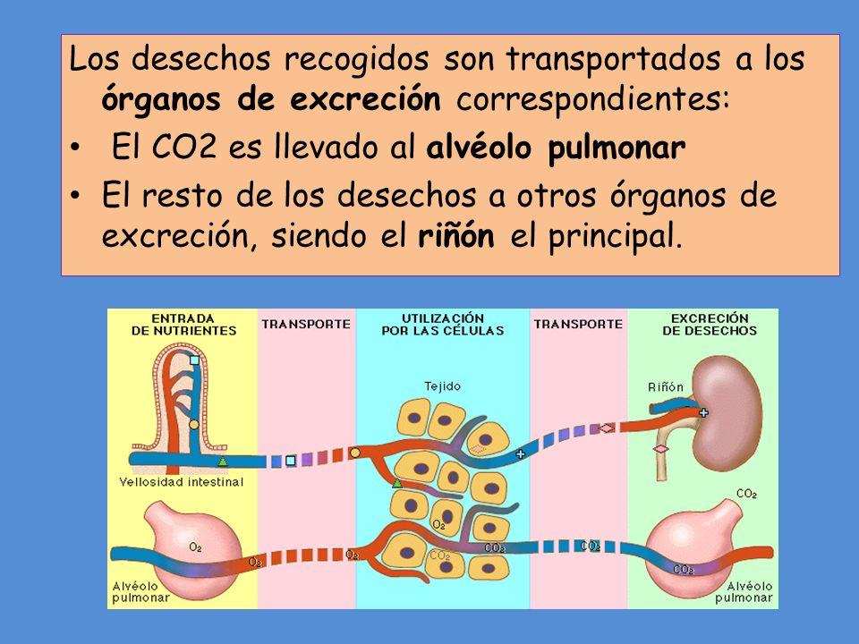 Los desechos recogidos son transportados a los órganos de excreción correspondientes: El CO2 es llevado al alvéolo pulmonar El resto de los desechos a