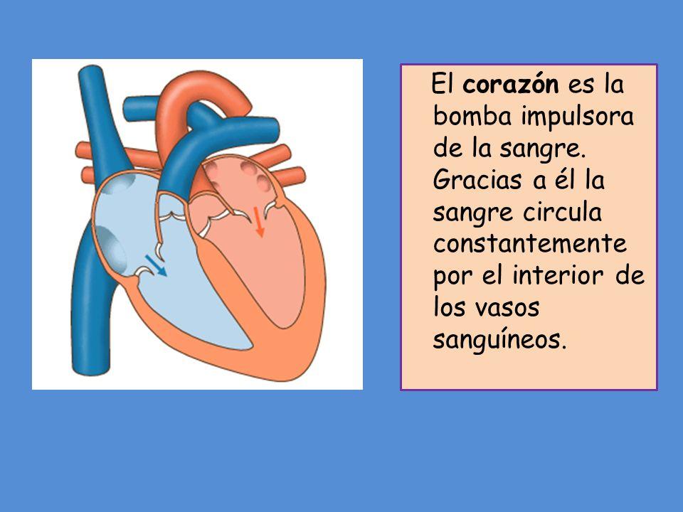 El corazón es la bomba impulsora de la sangre. Gracias a él la sangre circula constantemente por el interior de los vasos sanguíneos.