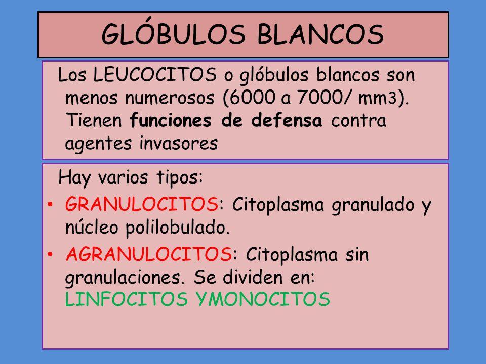 GLÓBULOS BLANCOS Los LEUCOCITOS o glóbulos blancos son menos numerosos (6000 a 7000/ mm 3 ). Tienen funciones de defensa contra agentes invasores Hay