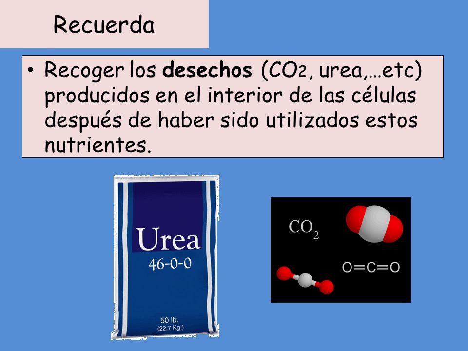 Recuerda Recoger los desechos (CO 2, urea,…etc) producidos en el interior de las células después de haber sido utilizados estos nutrientes.