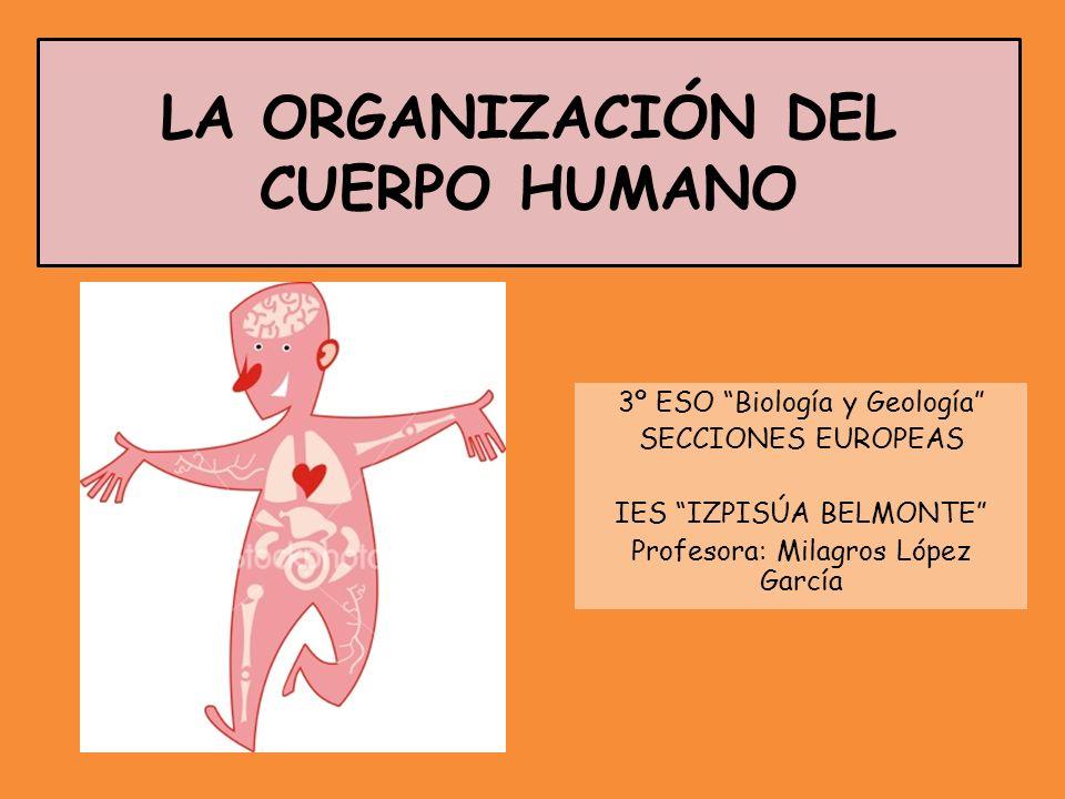 LA ORGANIZACIÓN DEL CUERPO HUMANO 3º ESO Biología y Geología SECCIONES EUROPEAS IES IZPISÚA BELMONTE Profesora: Milagros López García