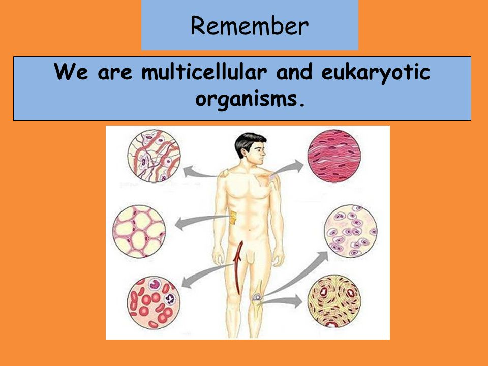 Remember We are multicellular and eukaryotic organisms.