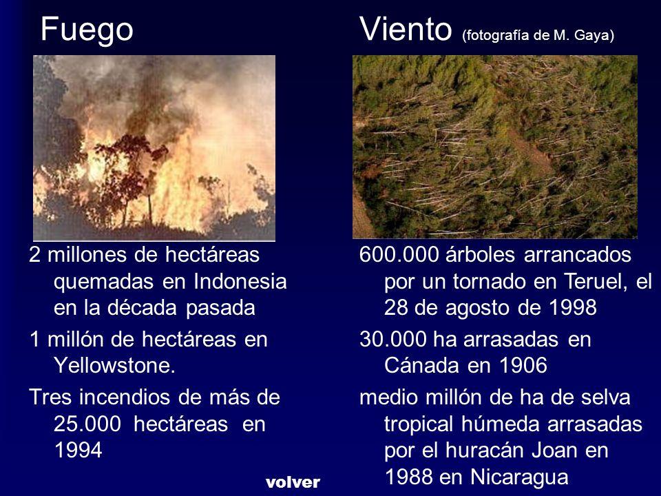 Fuego Viento (fotografía de M. Gaya) 2 millones de hectáreas quemadas en Indonesia en la década pasada 1 millón de hectáreas en Yellowstone. Tres ince