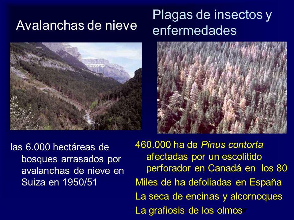 Avalanchas de nieve las 6.000 hectáreas de bosques arrasados por avalanchas de nieve en Suiza en 1950/51 volver 460.000 ha de Pinus contorta afectadas