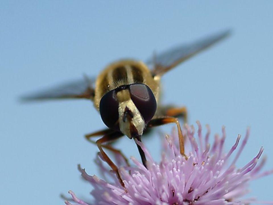 3.2.- Polinización por vectores animados Néctar: Ejemplo: Lavandula latifolia Tipos de Recompensas: 3.2.2.