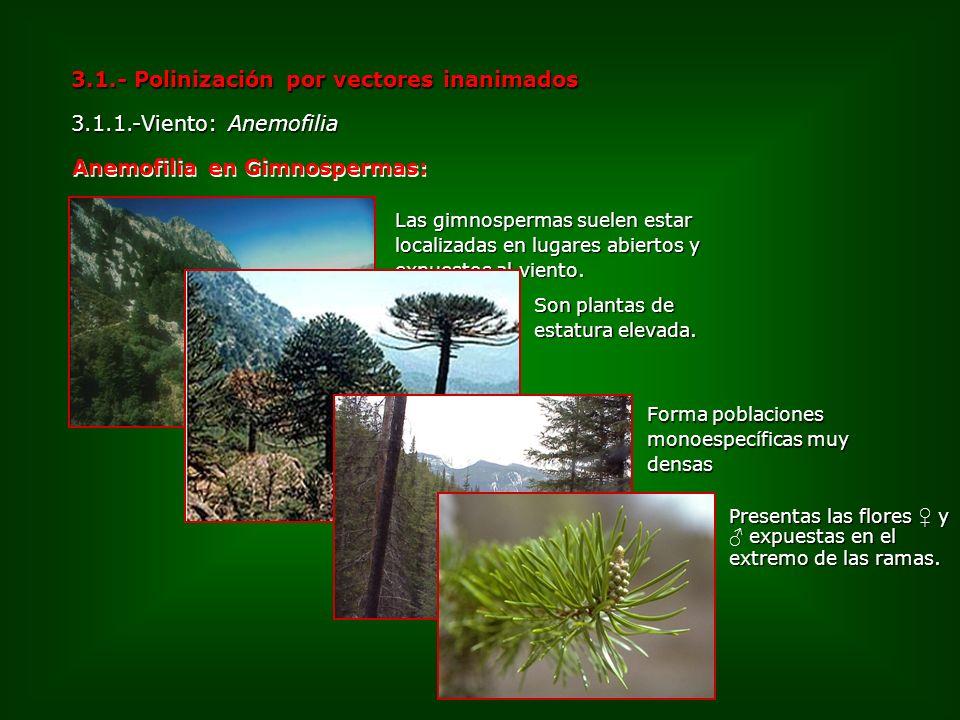 3.1.- Polinización por vectores inanimados 3.1.1.-Viento: Anemofilia Anemofilia en Gimnospermas: Las gimnospermas suelen estar localizadas en lugares
