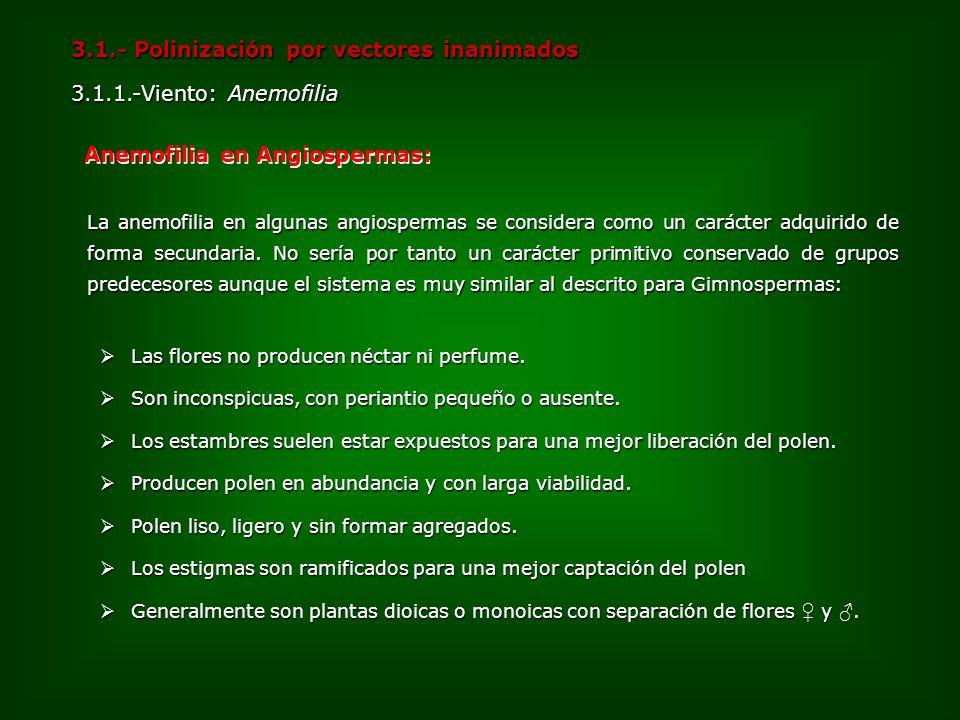 3.1.- Polinización por vectores inanimados 3.1.1.-Viento: Anemofilia Anemofilia en Angiospermas: La anemofilia en algunas angiospermas se considera co