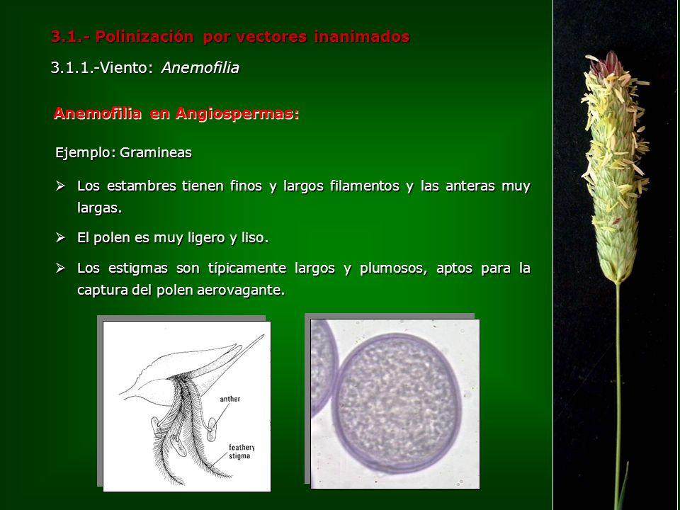 3.1.- Polinización por vectores inanimados 3.1.1.-Viento: Anemofilia Anemofilia en Angiospermas: Ejemplo: Gramineas Los estambres tienen finos y largo