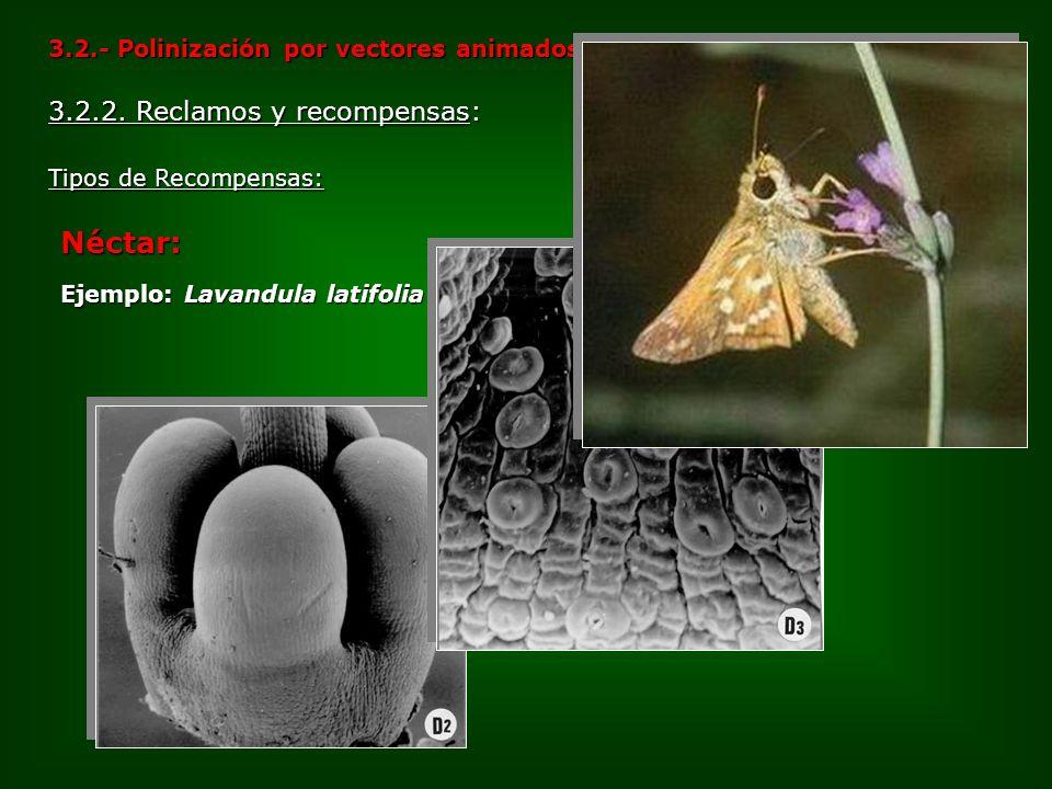 3.2.- Polinización por vectores animados Néctar: Ejemplo: Lavandula latifolia Tipos de Recompensas: 3.2.2. Reclamos y recompensas: