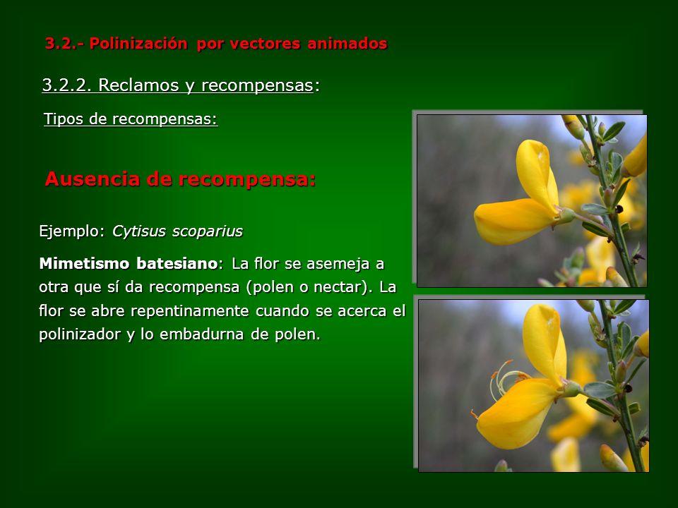 Ejemplo: Cytisus scoparius Mimetismo batesiano: La flor se asemeja a otra que sí da recompensa (polen o nectar). La flor se abre repentinamente cuando