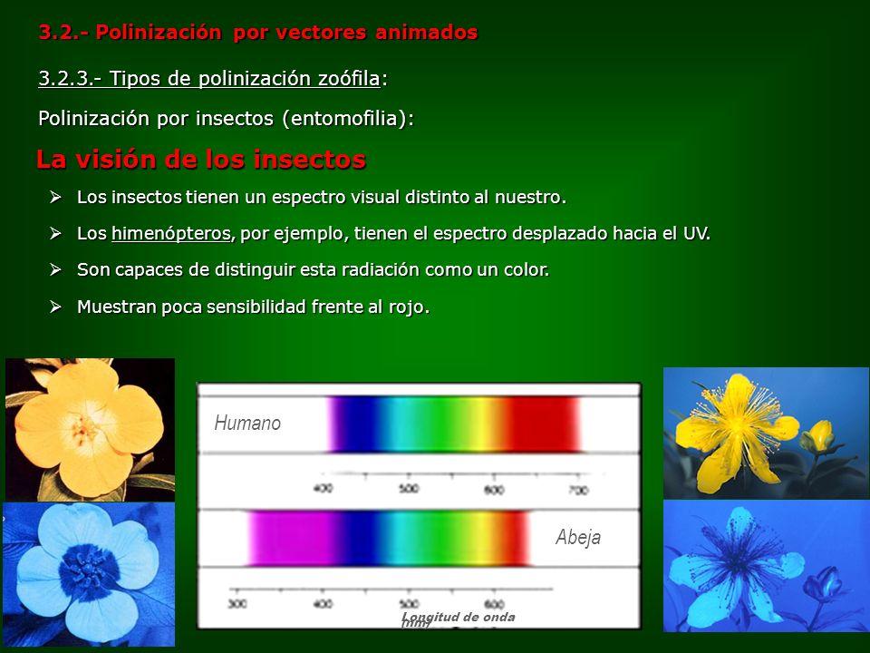 3.2.3.- Tipos de polinización zoófila: Polinización por insectos (entomofilia): 3.2.- Polinización por vectores animados Los insectos tienen un espect