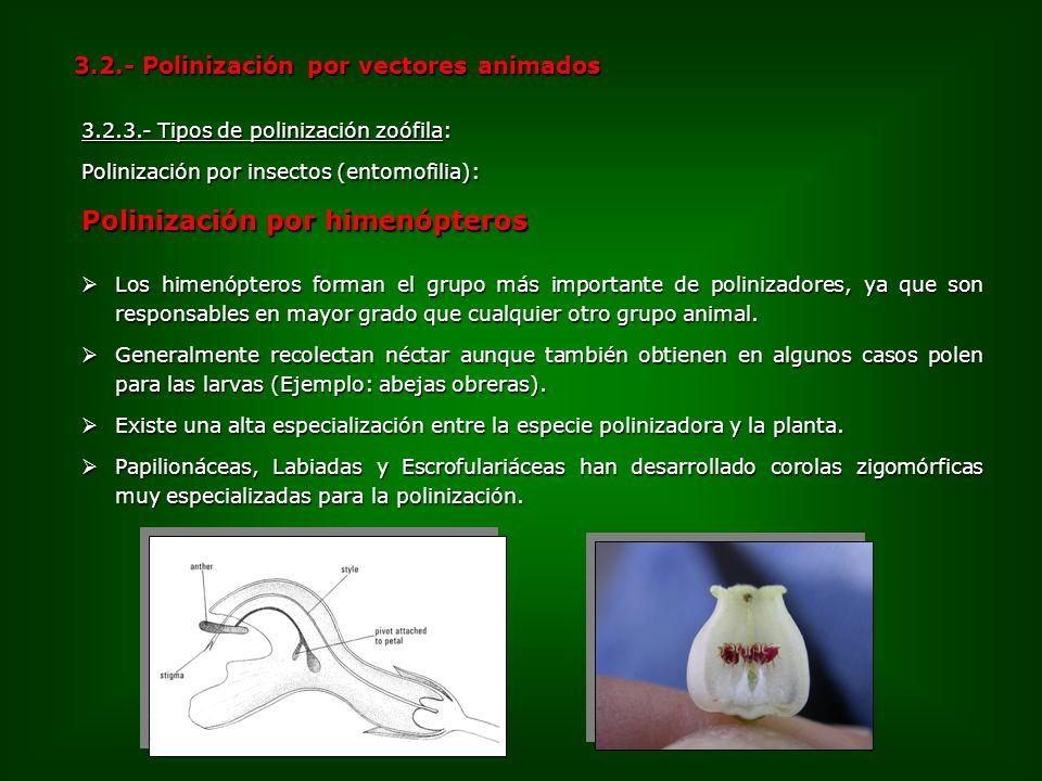 3.2.3.- Tipos de polinización zoófila: Polinización por insectos (entomofilia): Polinización por himenópteros 3.2.- Polinización por vectores animados