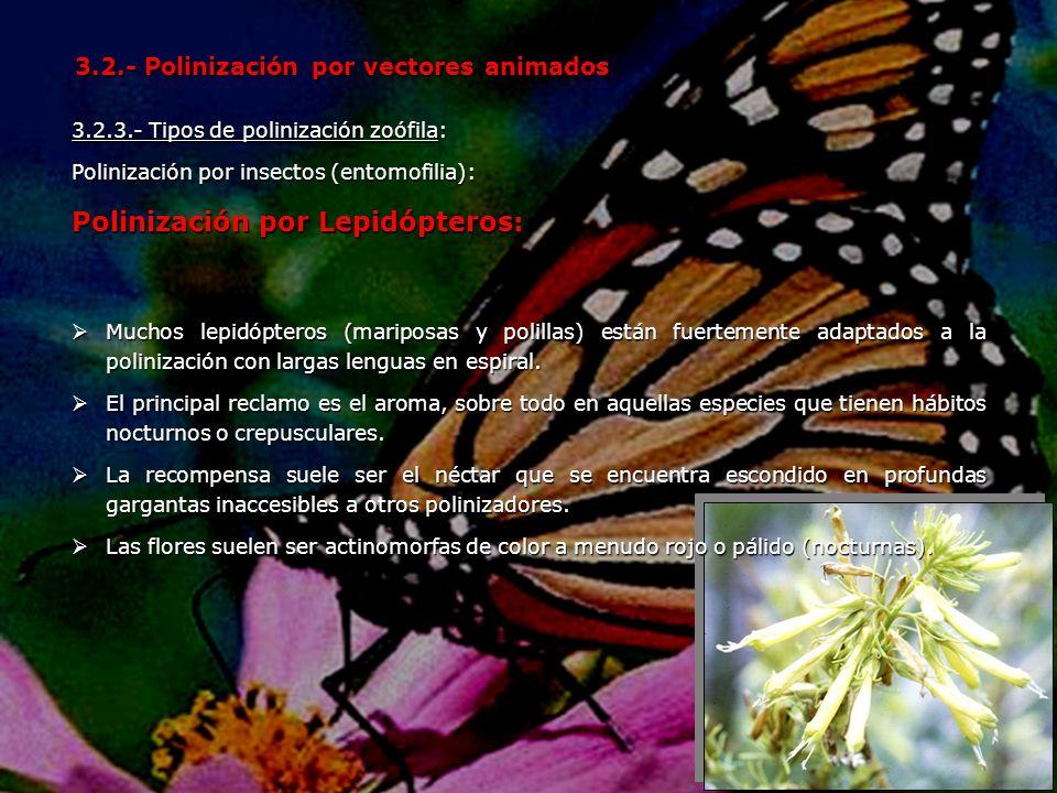 3.2.3.- Tipos de polinización zoófila: Polinización por insectos (entomofilia): Polinización por Lepidópteros: 3.2.- Polinización por vectores animado