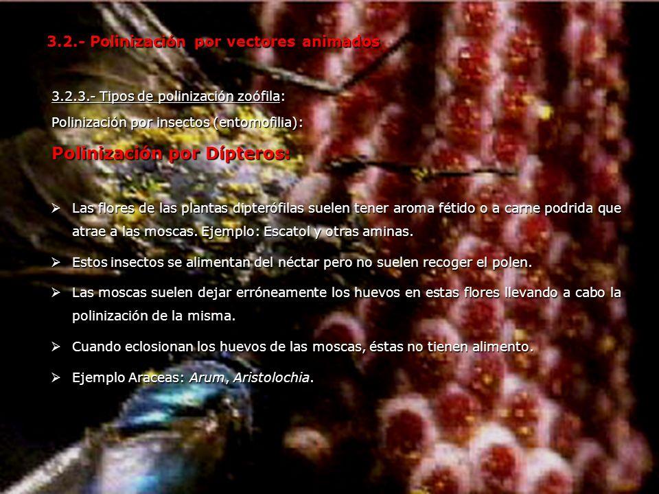 3.2.3.- Tipos de polinización zoófila: Polinización por insectos (entomofilia): Polinización por Dípteros: 3.2.- Polinización por vectores animados La