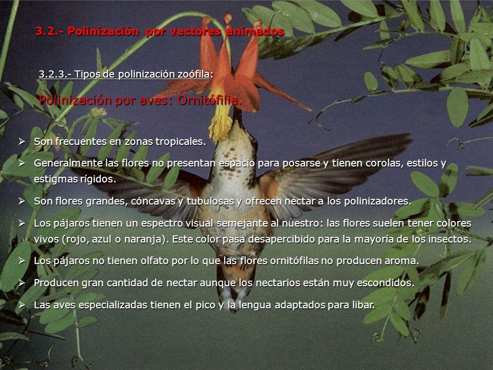 3.2.3.- Tipos de polinización zoófila: Polinización por aves: Ornitófilia. 3.2.- Polinización por vectores animados Son frecuentes en zonas tropicales