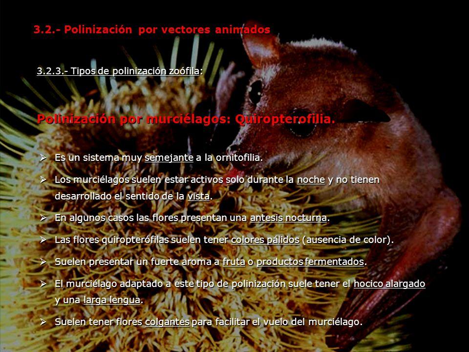 3.2.3.- Tipos de polinización zoófila: Polinización por murciélagos: Quiropterofilia. 3.2.- Polinización por vectores animados Es un sistema muy semej