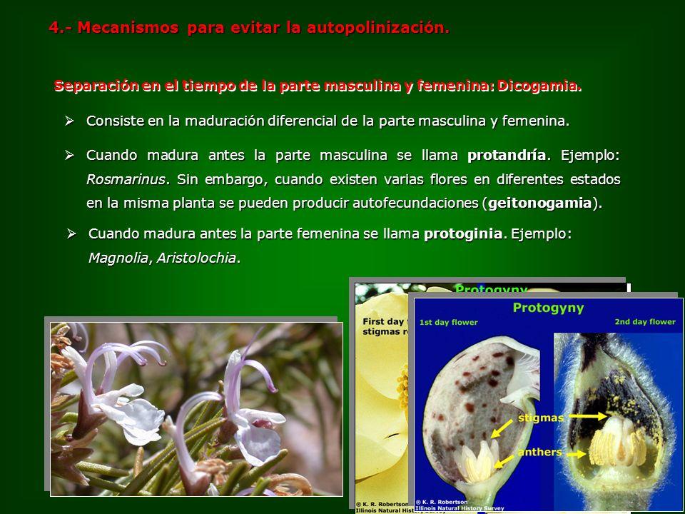 Cuando madura antes la parte masculina se llama protandría. Ejemplo: Rosmarinus. Sin embargo, cuando existen varias flores en diferentes estados en la