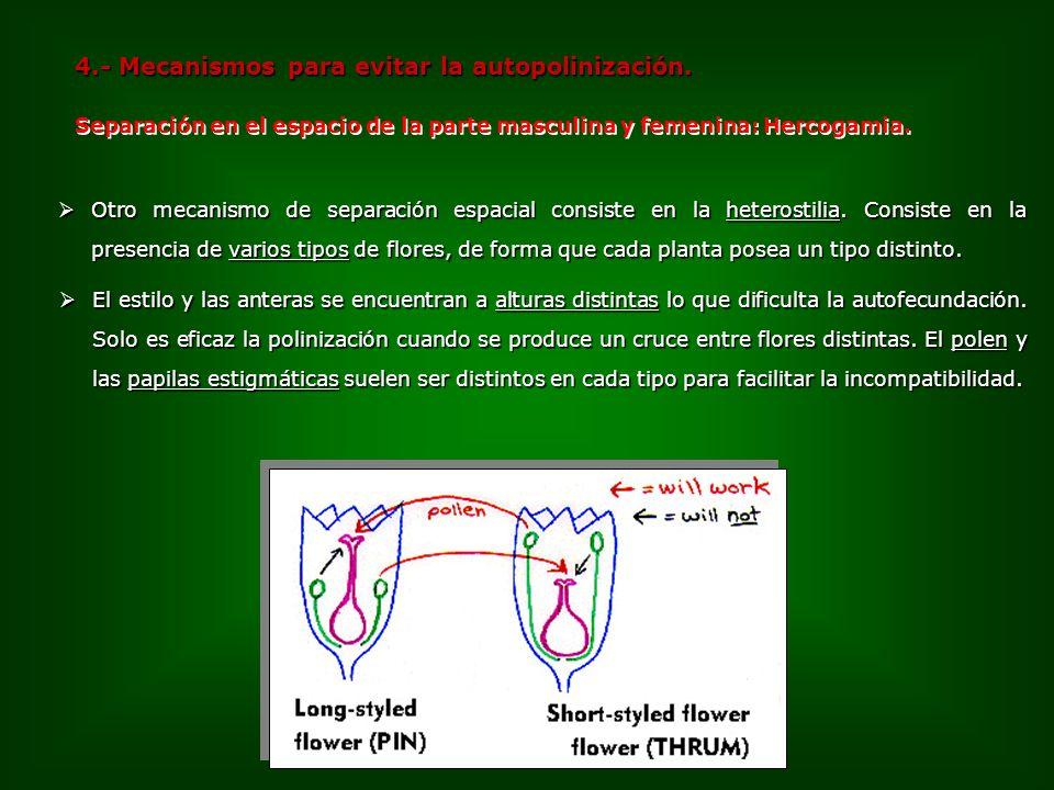 4.- Mecanismos para evitar la autopolinización. Otro mecanismo de separación espacial consiste en la heterostilia. Consiste en la presencia de varios