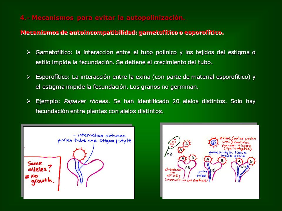 4.- Mecanismos para evitar la autopolinización. Ejemplo: Papaver rhoeas. Se han identificado 20 alelos distintos. Solo hay fecundación entre plantas c