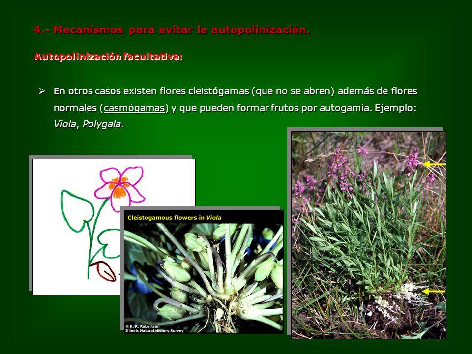 En otros casos existen flores cleistógamas (que no se abren) además de flores normales (casmógamas) y que pueden formar frutos por autogamia. Ejemplo: