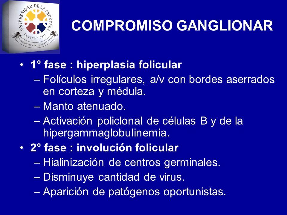 COMPROMISO GANGLIONAR 1° fase : hiperplasia folicular –Folículos irregulares, a/v con bordes aserrados en corteza y médula. –Manto atenuado. –Activaci