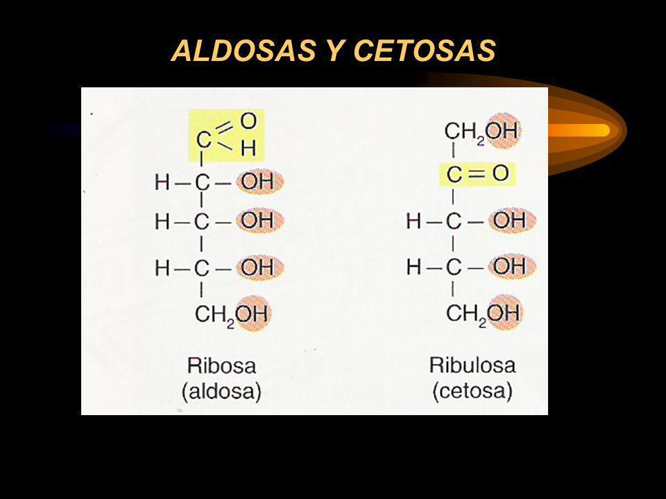 LOS CARBOHIDRATOS CARBOHIDRATOS ABSORBIBLES: –Con enlaces alfa que se pueden romper con la digestión: De absorción rápida: –Monosacáridos –Disacáridos –Oligosacáridos pequeños De absorción lenta: –Oligosacáridos de gran tamaño molecular CARBOHIDRATOS NO ABSORBIBLES: –Con enlaces beta que no se rompen con la digestión: Constituyen la fibra alimentaria: –Celulosa –Mucílagos –Pectinas