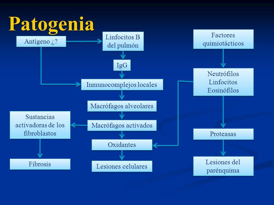 Patogenia Antígeno ¿? Linfocitos B del pulmón IgG Inmunocomplejos locales Macrófagos alveolares Macrófagos activados Oxidantes Lesiones celulares Sust