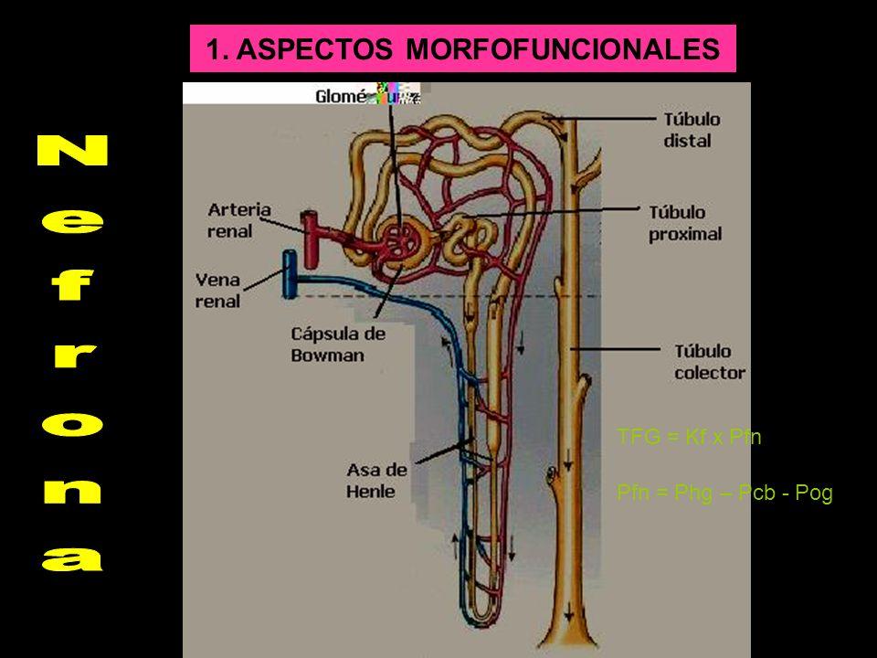 1. ASPECTOS MORFOFUNCIONALES TFG = Kf x Pfn Pfn = Phg – Pcb - Pog