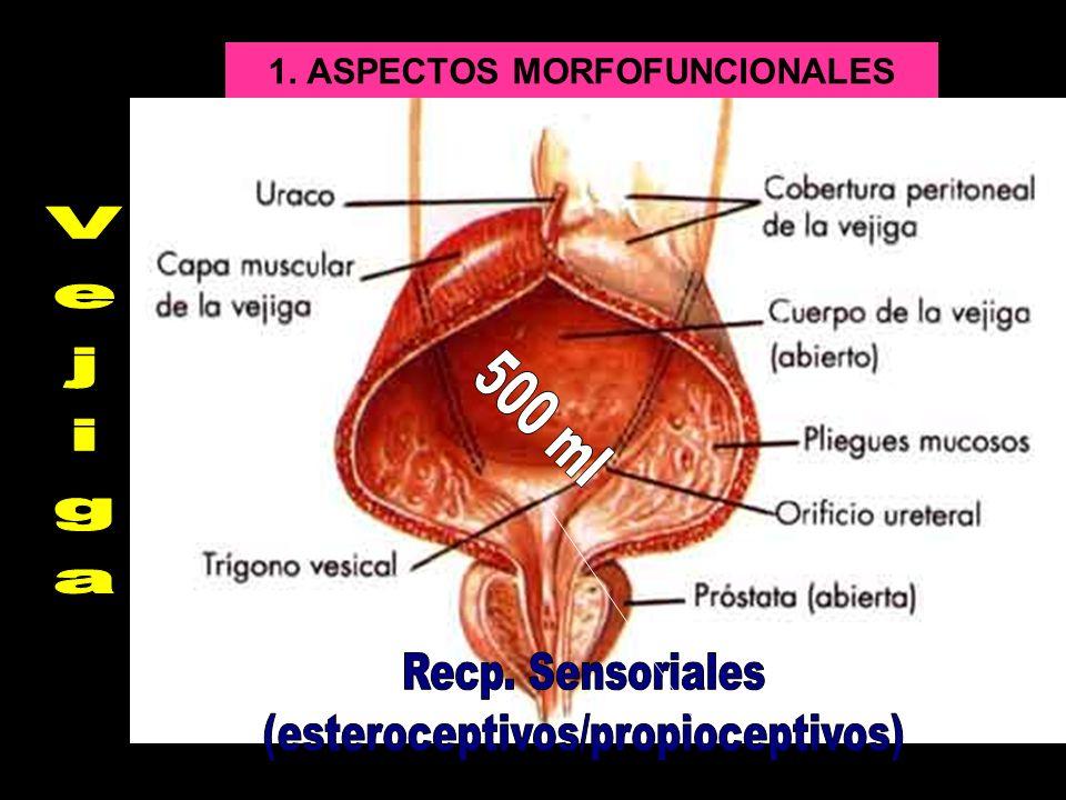 Esfínteres Uretrales: –E.INTERNO es LISO INVOLUNTARIO –E.