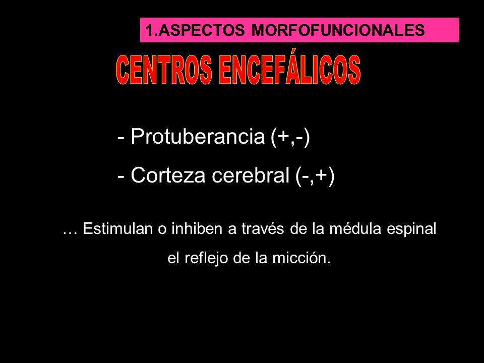 1.ASPECTOS MORFOFUNCIONALES - Protuberancia (+,-) - Corteza cerebral (-,+) … Estimulan o inhiben a través de la médula espinal el reflejo de la micció