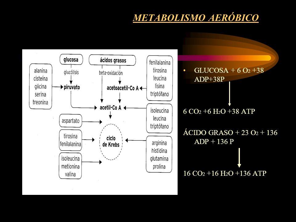 METABOLISMO AERÓBICO GLUCOSA + 6 O 2 +38 ADP+38P 6 CO 2 +6 H 2 O +38 ATP ÁCIDO GRASO + 23 O 2 + 136 ADP + 136 P 16 CO 2 +16 H 2 O +136 ATP