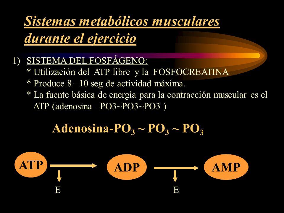 Sistemas metabólicos musculares durante el ejercicio El ATP gastado se repone mediante la liberación de energía desde la FOSFOCREATINA: CREATINA ~ PO 3 Normalmente hay 2-4 veces más fosfato de creatina que ATP en el músculo.