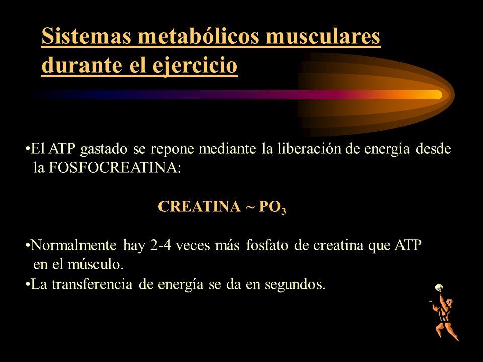 Sistemas metabólicos musculares durante el ejercicio El ATP gastado se repone mediante la liberación de energía desde la FOSFOCREATINA: CREATINA ~ PO