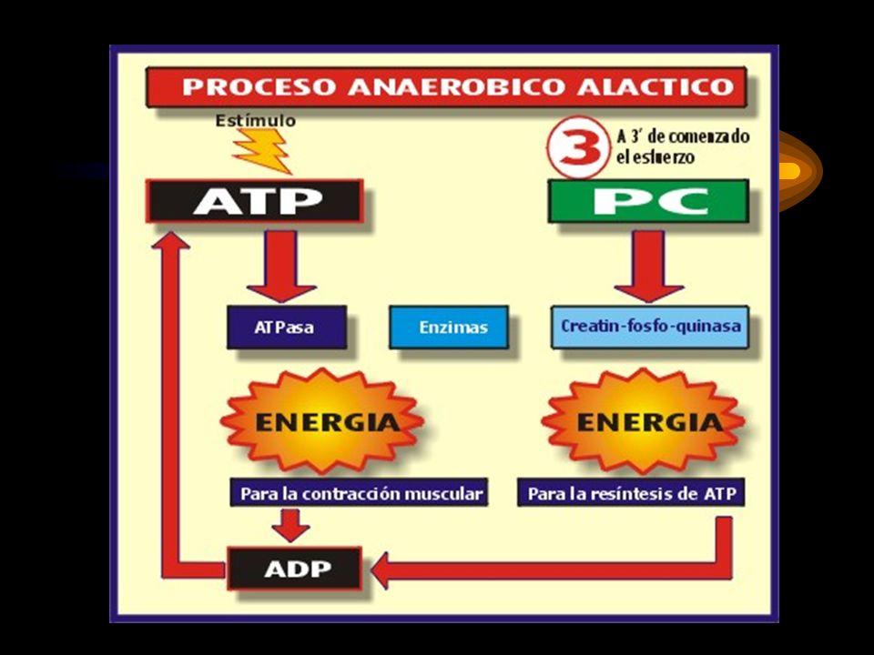 METABOLISMO ANAERÓBICO ALÁCTICO ATP + H 2 O ADP + CP 1ATP +C CPK ADP + P + ENERGÍA