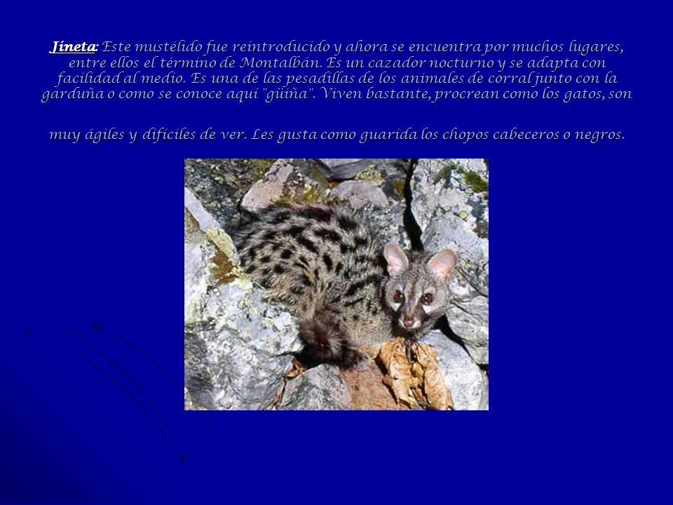 Jineta: Este mustélido fue reintroducido y ahora se encuentra por muchos lugares, entre ellos el término de Montalbán. Es un cazador nocturno y se ada