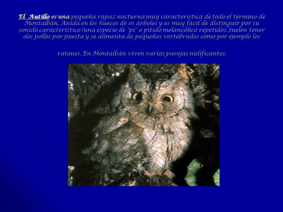 El Autillo es una pequeña rapaz nocturna muy característica de todo el término de Montalbán. Anida en los huecos de os árboles y es muy fácil de disti