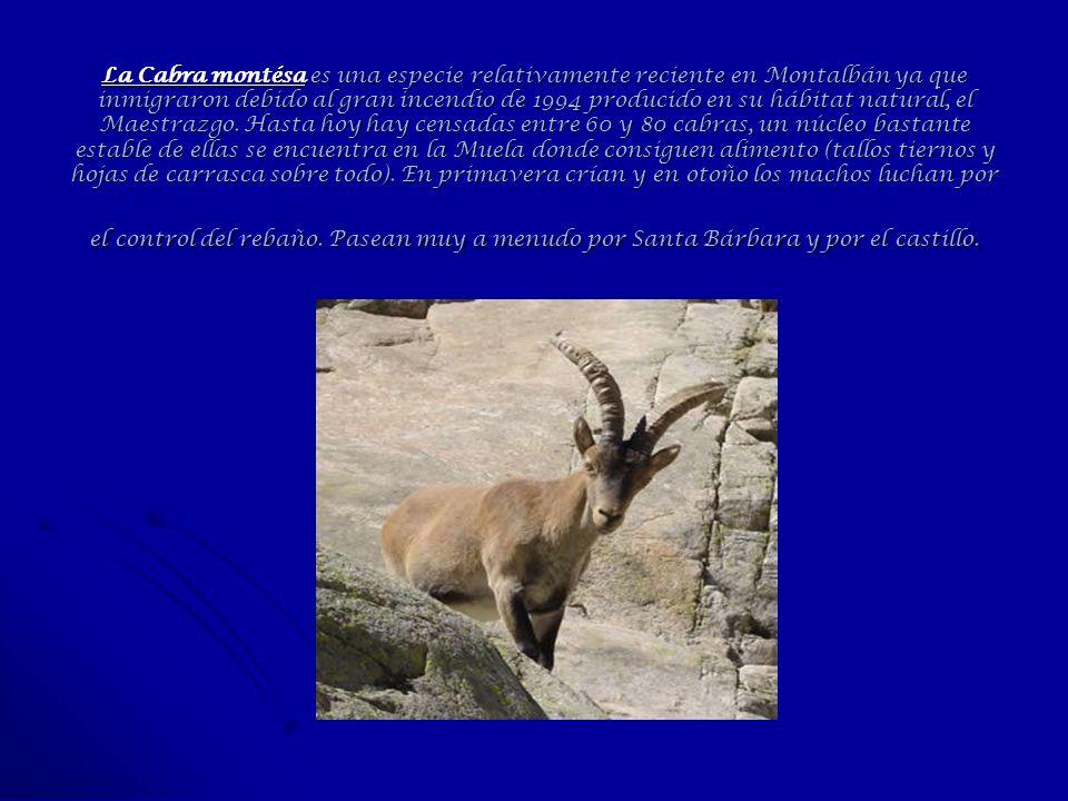 La Cabra montésa es una especie relativamente reciente en Montalbán ya que inmigraron debido al gran incendio de 1994 producido en su hábitat natural,