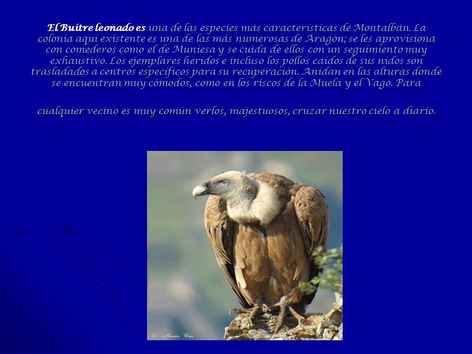 El Buitre leonado es una de las especies más características de Montalbán. La colonia aquí existente es una de las más numerosas de Aragón; se les apr
