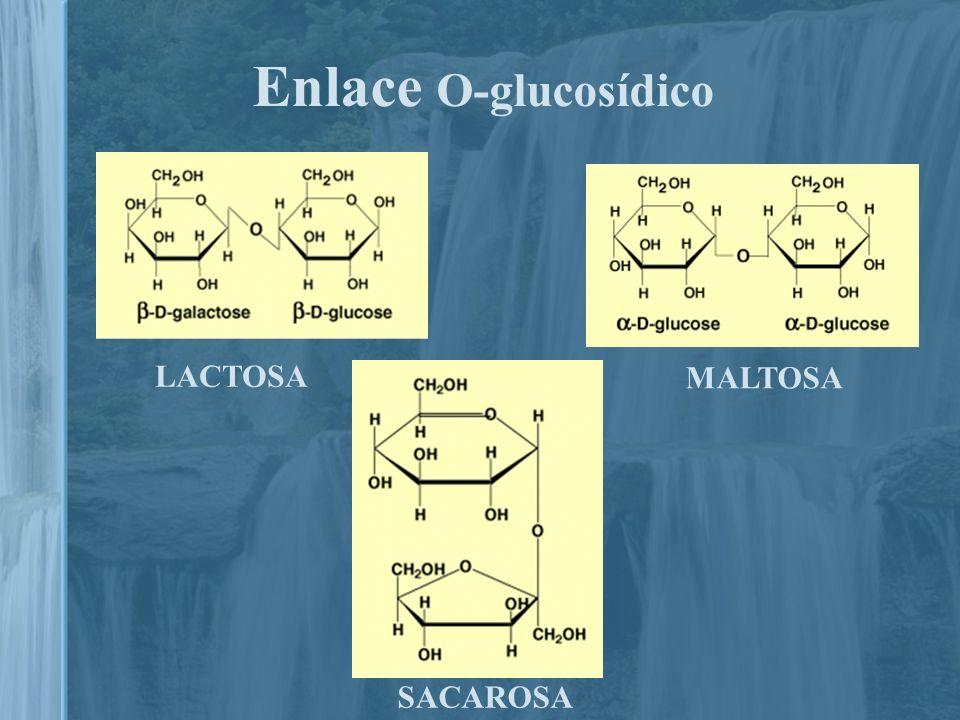 Enlace O-glucosídico LACTOSA MALTOSA SACAROSA