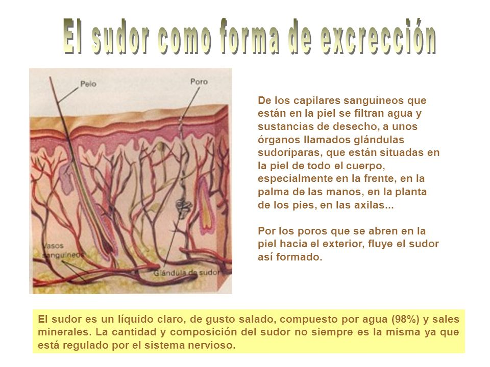 Su función es poner el oxigeno aspirado, a través de la nariz, en contacto con la sangre y a través de ella con los tejidos.