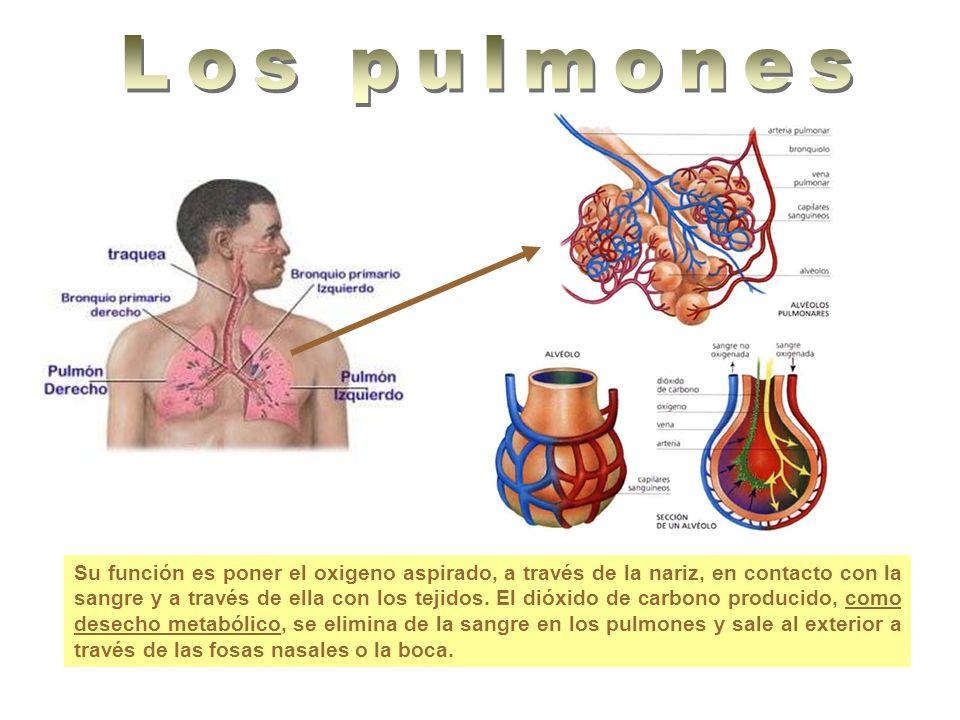 Su función es poner el oxigeno aspirado, a través de la nariz, en contacto con la sangre y a través de ella con los tejidos. El dióxido de carbono pro