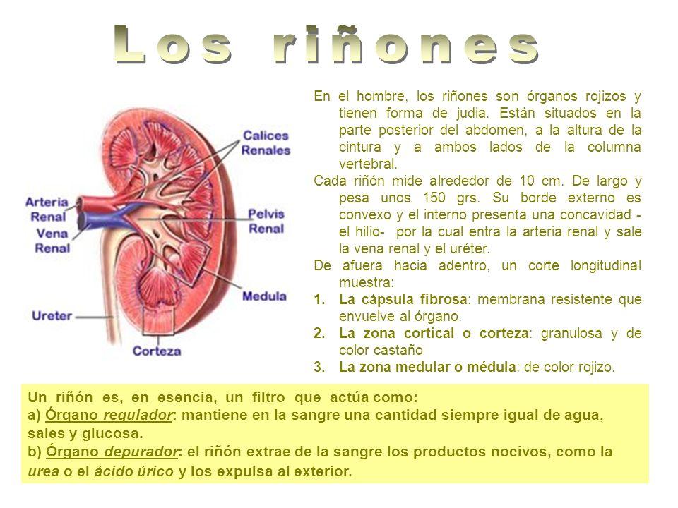 En el hombre, los riñones son órganos rojizos y tienen forma de judia. Están situados en la parte posterior del abdomen, a la altura de la cintura y a