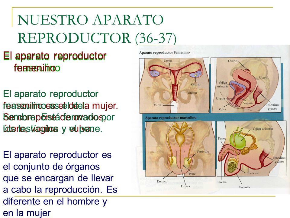 NUESTRO APARATO REPRODUCTOR (36-37) El aparato reproductor masculino El aparato reproductor femenino El aparato reproductor es el conjunto de órganos que se encargan de llevar a cabo la reproducción.