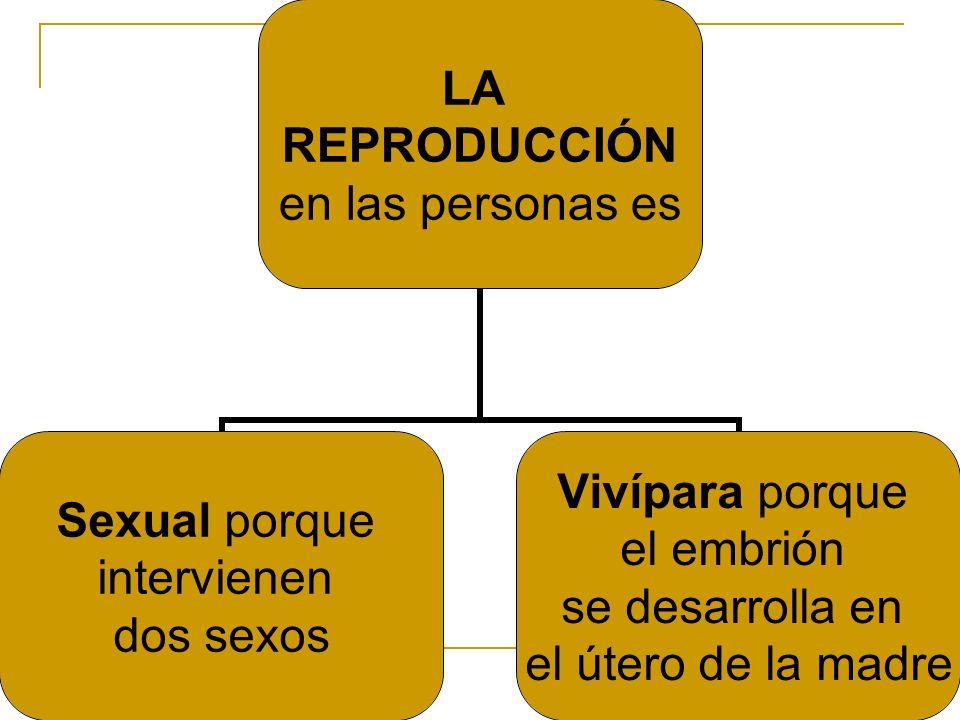 LA REPRODUCCIÓN en las personas es Sexual porque intervienen dos sexos Vivípara porque el embrión se desarrolla en el útero de la madre