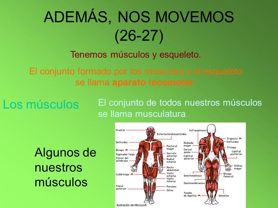 ADEMÁS, NOS MOVEMOS (26-27) Tenemos músculos y esqueleto. El conjunto formado por los músculos y el esqueleto se llama aparato locomotor. Los músculos