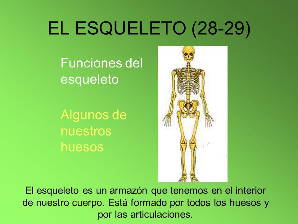 EL ESQUELETO (28-29) El esqueleto es un armazón que tenemos en el interior de nuestro cuerpo. Está formado por todos los huesos y por las articulacion