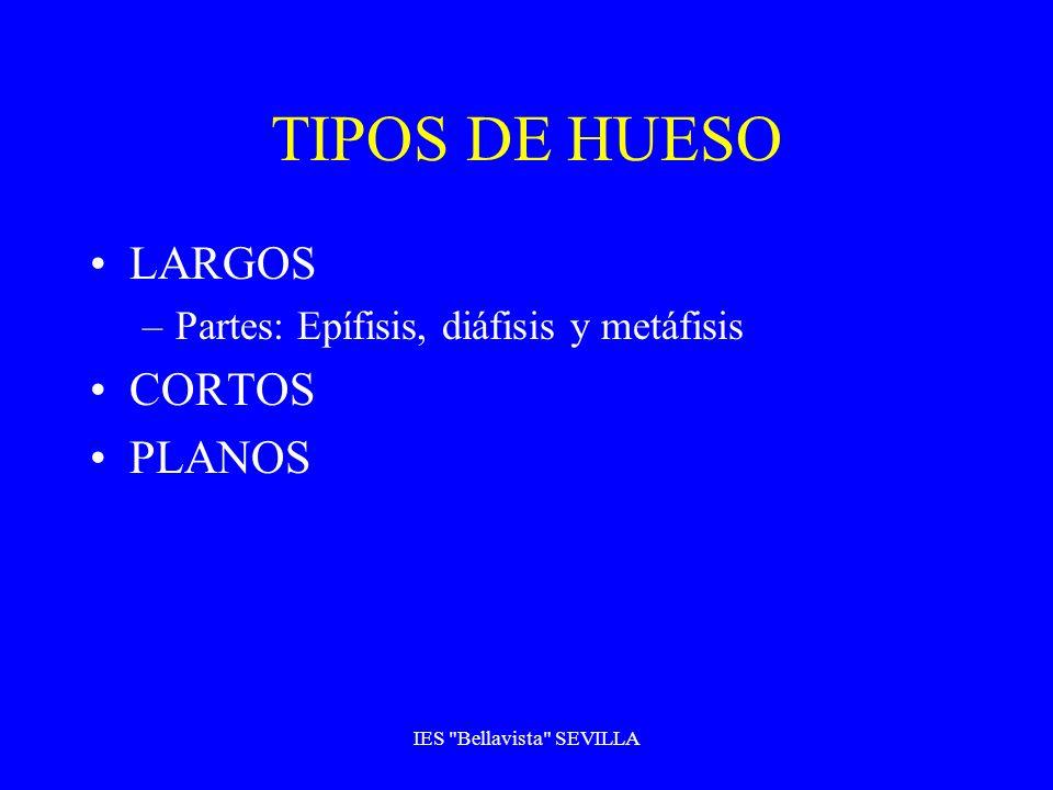 TIPOS DE HUESO LARGOS –Partes: Epífisis, diáfisis y metáfisis CORTOS PLANOS