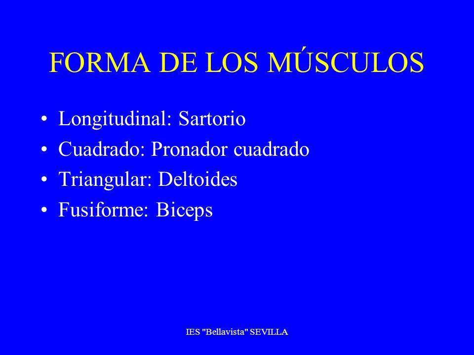 FORMA DE LOS MÚSCULOS Longitudinal: Sartorio Cuadrado: Pronador cuadrado Triangular: Deltoides Fusiforme: Biceps