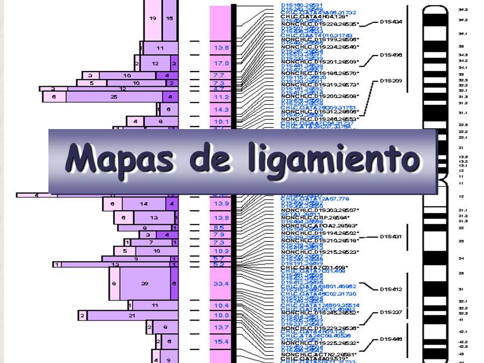 11 Supuesto: las frecuencias de entrecruzamiento, y por tanto la frecuencia de recombinación, depende de la distancia entre genes Unidad de distancia: La unidad de mapa (u.m.) o el centimorgan (cM) --> La distancia entre genes (loci) en los que la frecuencia de recombinación es del 1% ACB